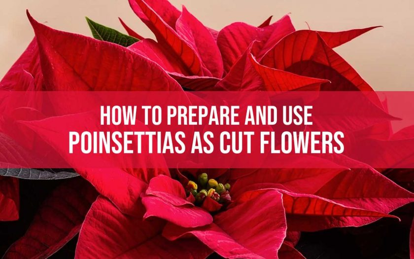 use poinsettias as cut flowers