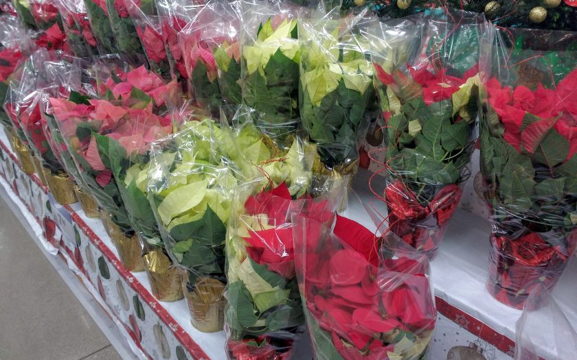 Avoid buying a poinsettia displayed in a protective plant sleeve
