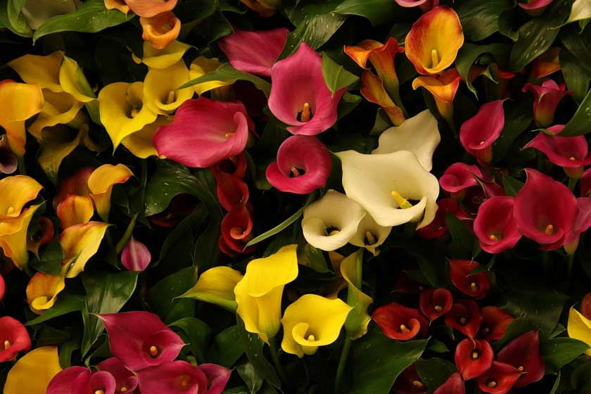 arrange calla lilies